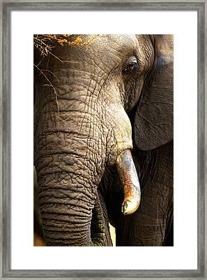 Elephant Close-up Portrait Framed Print