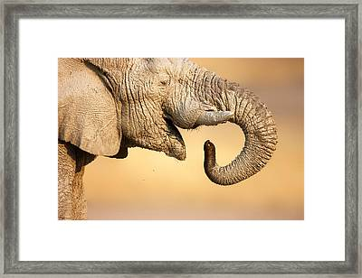 Elephant Drinking Framed Print