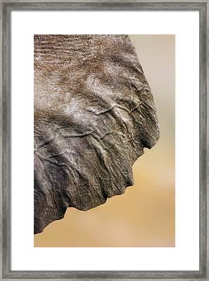 Elephant Ear Close-up Framed Print by Johan Swanepoel