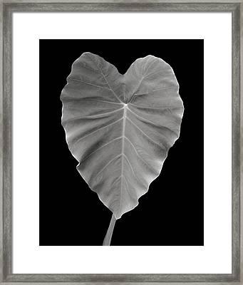 Elephant Ear Study 1 Framed Print by Marilyn Hunt
