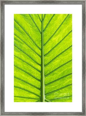 Elephant Ear Taro Leaf Pattern Framed Print by Tim Gainey