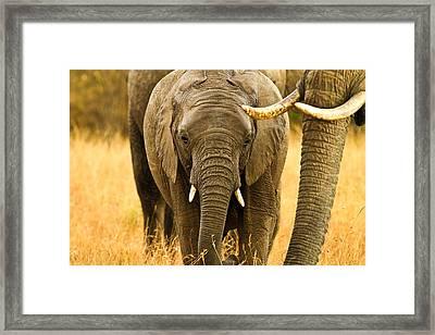 Elephant Family Framed Print by Kongsak Sumano