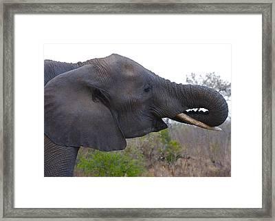 Elephant Having A Drink Framed Print