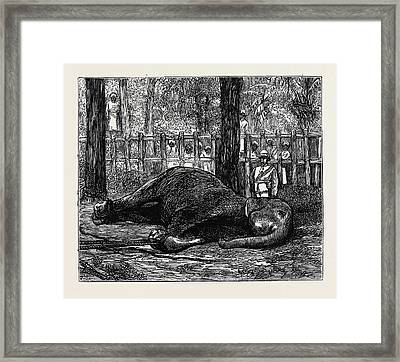 Elephant Hunting In Ceylon Cow Elephant Secured In Corral Framed Print
