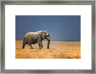 Elephant In Grassfield Framed Print