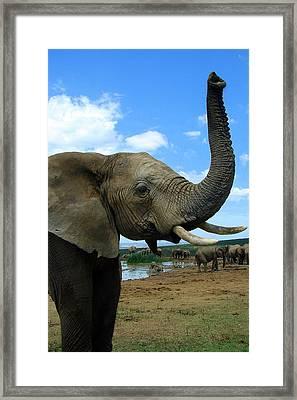 Elephant Posing Framed Print