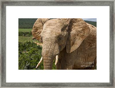 Elephant Profile Framed Print