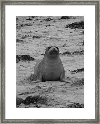 Elephant Seal Framed Print