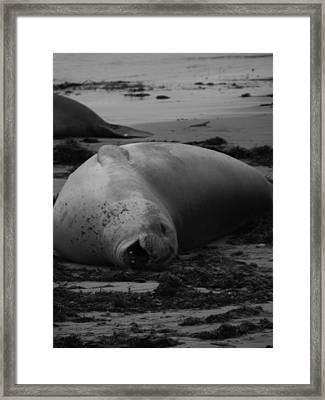 Elephant Seal Laughter Framed Print