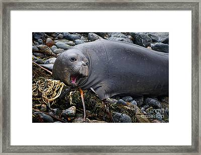Elephant Seal Of Ano Nuevo State Reserve Framed Print