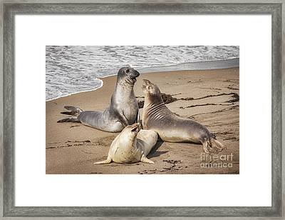 Elephant Seals Framed Print by Colin and Linda McKie