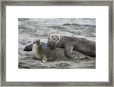 Elephant Seals Mating Framed Print by Mark Newman