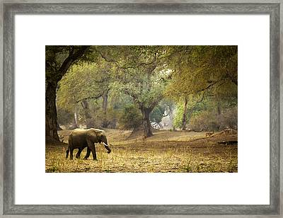Elephant Strolling In Enchanted Forest Framed Print by Alison Buttigieg