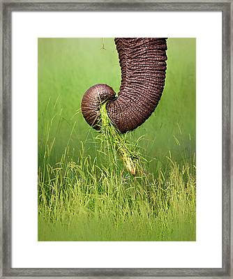Elephant Trunk Pulling Grass Framed Print