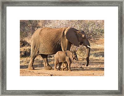 Elephants Big And Small Framed Print by Phil Stone