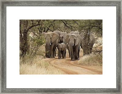 Elephants Have The Right Of Way Framed Print
