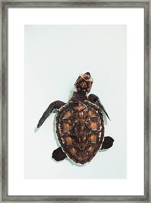 Elevated View Of Baby Sea Turtle, Old Framed Print