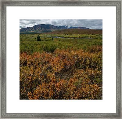 Elevated View Of Dwarf Birch Betula Framed Print