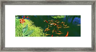 Elevated View Of School Of Koi Fish Framed Print