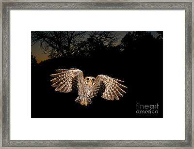 Elf Owl Framed Print by Scott Linstead
