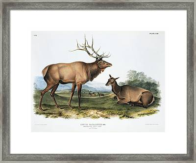 Elk, 19th Century Artwork Framed Print by Science Photo Library