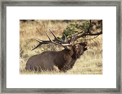 Elk - 4108 Framed Print