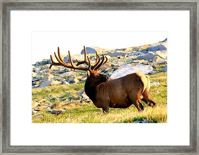 Elk 7 Point Giant Framed Print by Rebecca Adams