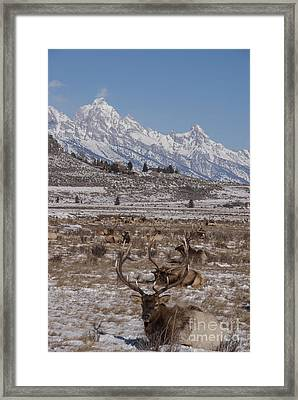 Elk And The Grand Tetons Framed Print
