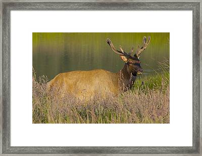 Framed Print featuring the photograph Elk At Dusk by Todd Kreuter