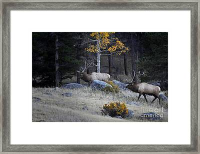 Elk Battle Stalk Framed Print