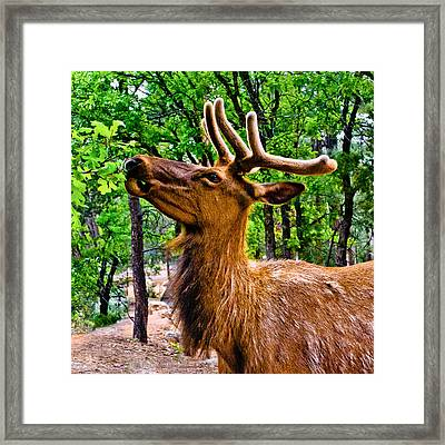 Elk Browsing In The Grand Canyon Framed Print by Bob and Nadine Johnston