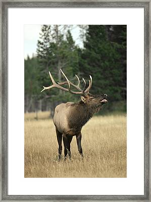 Elk Bull Bugling During Rut Yellowstone Framed Print by Michael Quinton