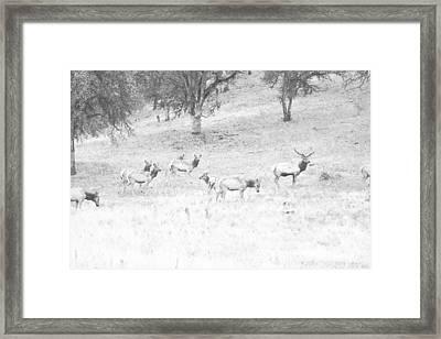 Elk Bull With Harem Framed Print