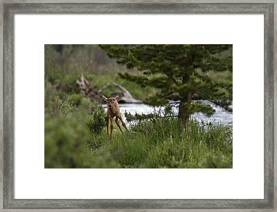 Elk Calf Framed Print