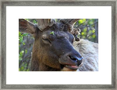 Elk Chuckle Framed Print