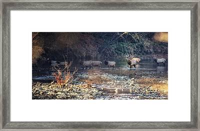 Elk Crossing The Buffalo River Framed Print by Michael Dougherty
