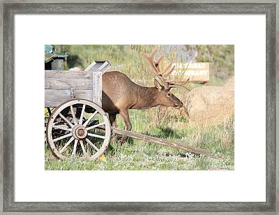 Elk Drawn Carriage Framed Print