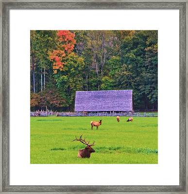 Elk During The Rut In Tennessee Framed Print by Dan Sproul