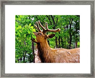 Elk - Grand Canyon National Park Framed Print by Bob and Nadine Johnston