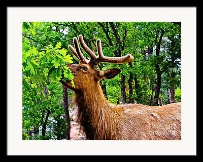 Elk Or Wapiti Framed Prints