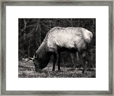 Elk Grazing Framed Print by Chris Flees