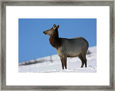 Elk Homecoming  Framed Print by Inspired Nature Photography Fine Art Photography