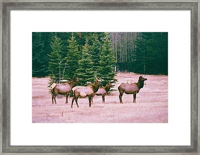 Elk In Canada Framed Print by Richard Jenkins