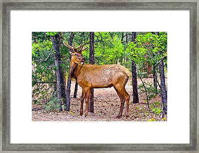 Elk In Canyon National Park Framed Print by Bob and Nadine Johnston
