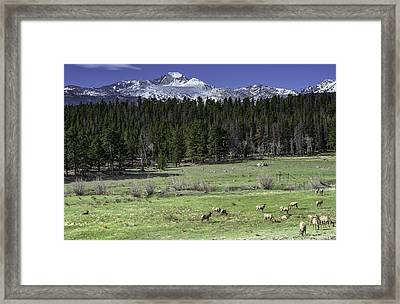 Elk In Meadow Framed Print by Tom Wilbert
