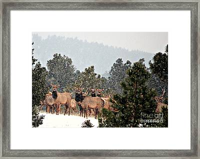 Framed Print featuring the photograph Elk In The Snowing Open by Barbara Chichester