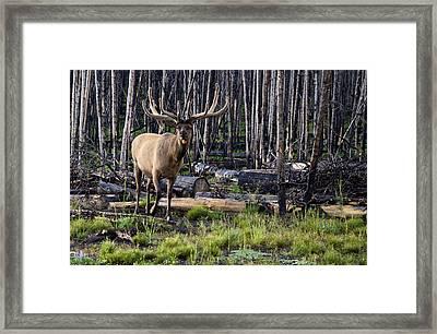 Elk In The Woods Framed Print
