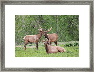 Elk In Velvet Framed Print by Trent Mallett