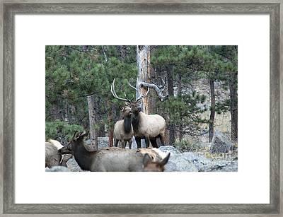 Elk Framed Print by Juli Scalzi