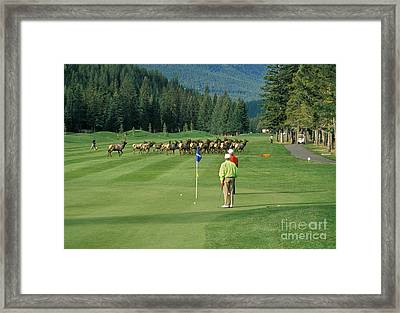 Elk On The Golf Course Framed Print by Ron Sanford